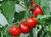 Tesco rozširuje na leto ponuku ovocia a zeleniny od slovenských dodávateľov