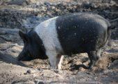 Európska komisia odobrala Slovensku výnimku zpovinnosti registrácie chovu ošípaných
