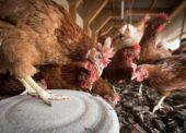 Na Slovensku zaznamenali druhý prípad vtáčej chrípky